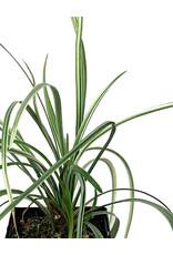 Liriope spicata 'Silver Dragon' 4 Inch