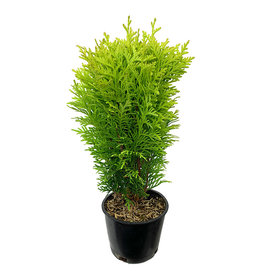 Thuja o. 'Autumn Moon' 4 Inch