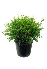 Chamaecyparis pisifera 'Filifera' 4 inch