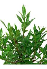 Gardenia 'Frost Proof' Quart