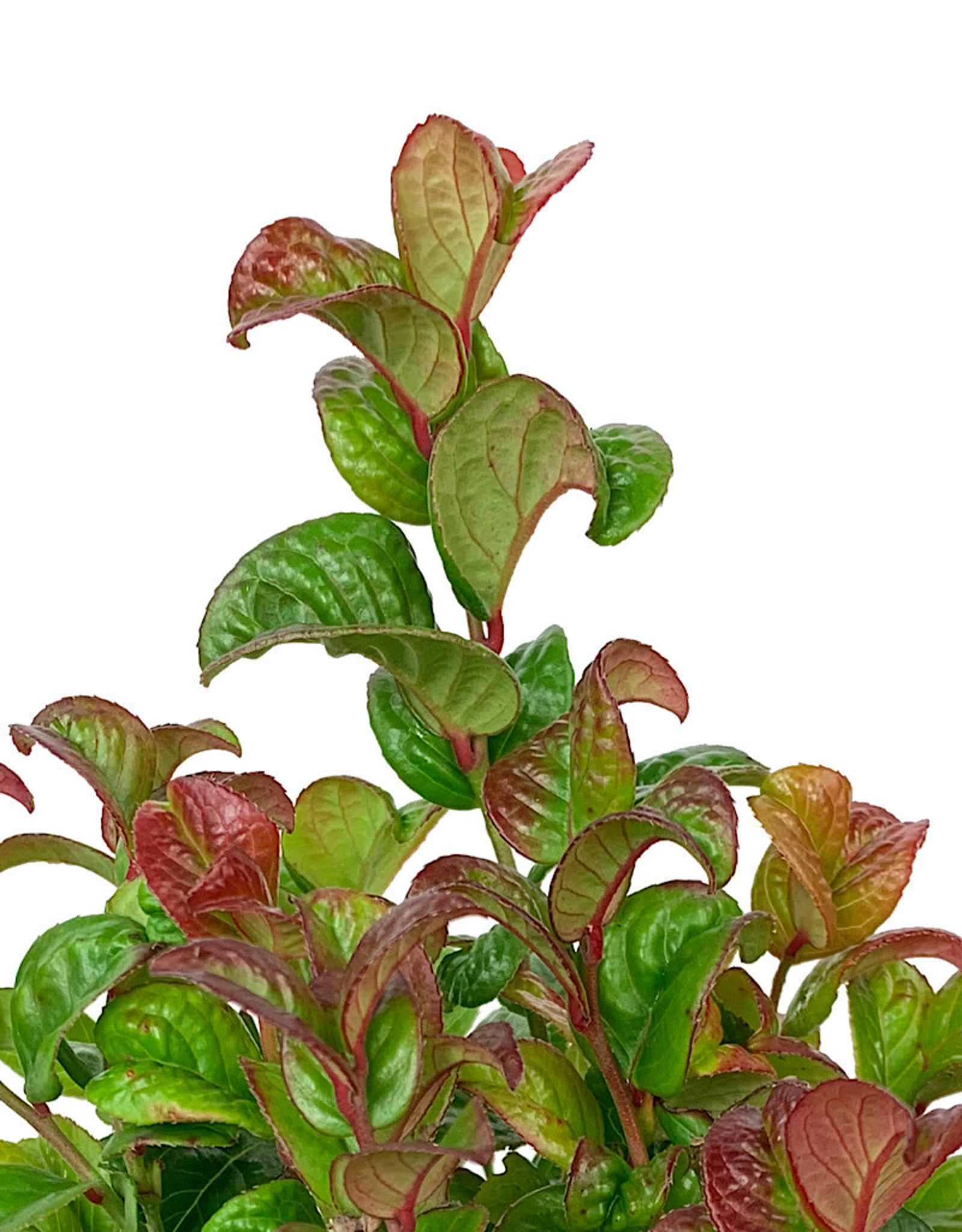 Leucothoe 'Curly Red' Quart