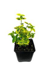 Euonymus f. 'Emerald n Gold' 4 inch