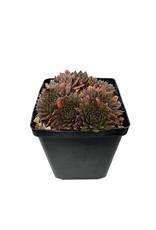 Sempervivum 'Bronze Pastel' 4 Inch