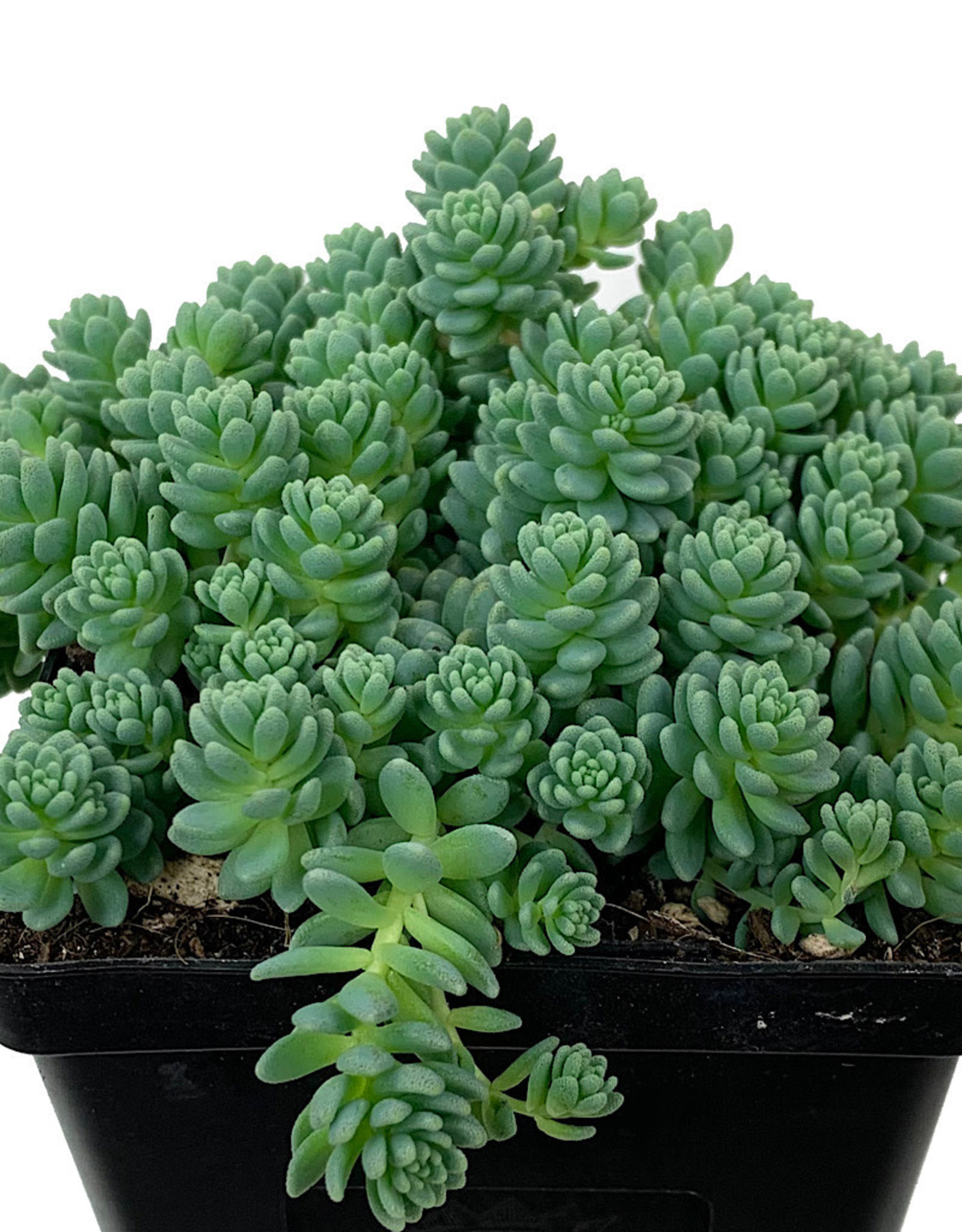 Sedum dasyphyllum 'Major' 4 inch