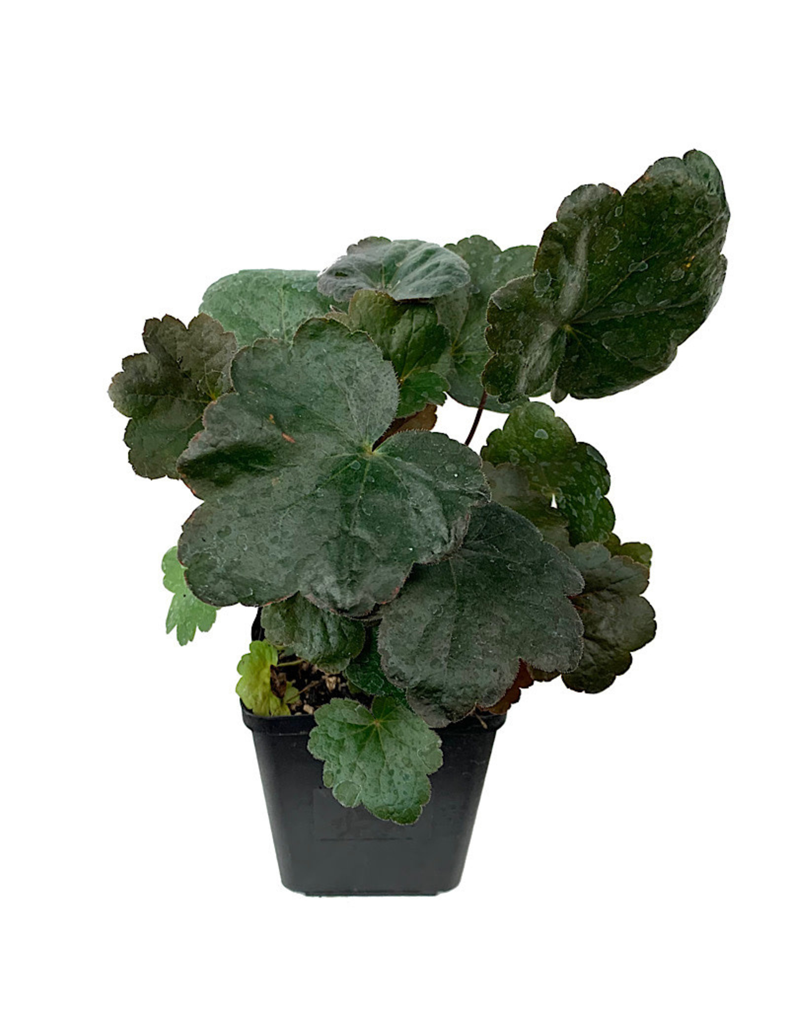 Heuchera 'Carnival Black Olive' Quart