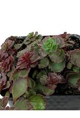 Sedum spurium 'Red Carpet' 4 inch