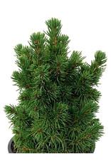 Picea glauca 'Humpty Dumpty' 4 Inch
