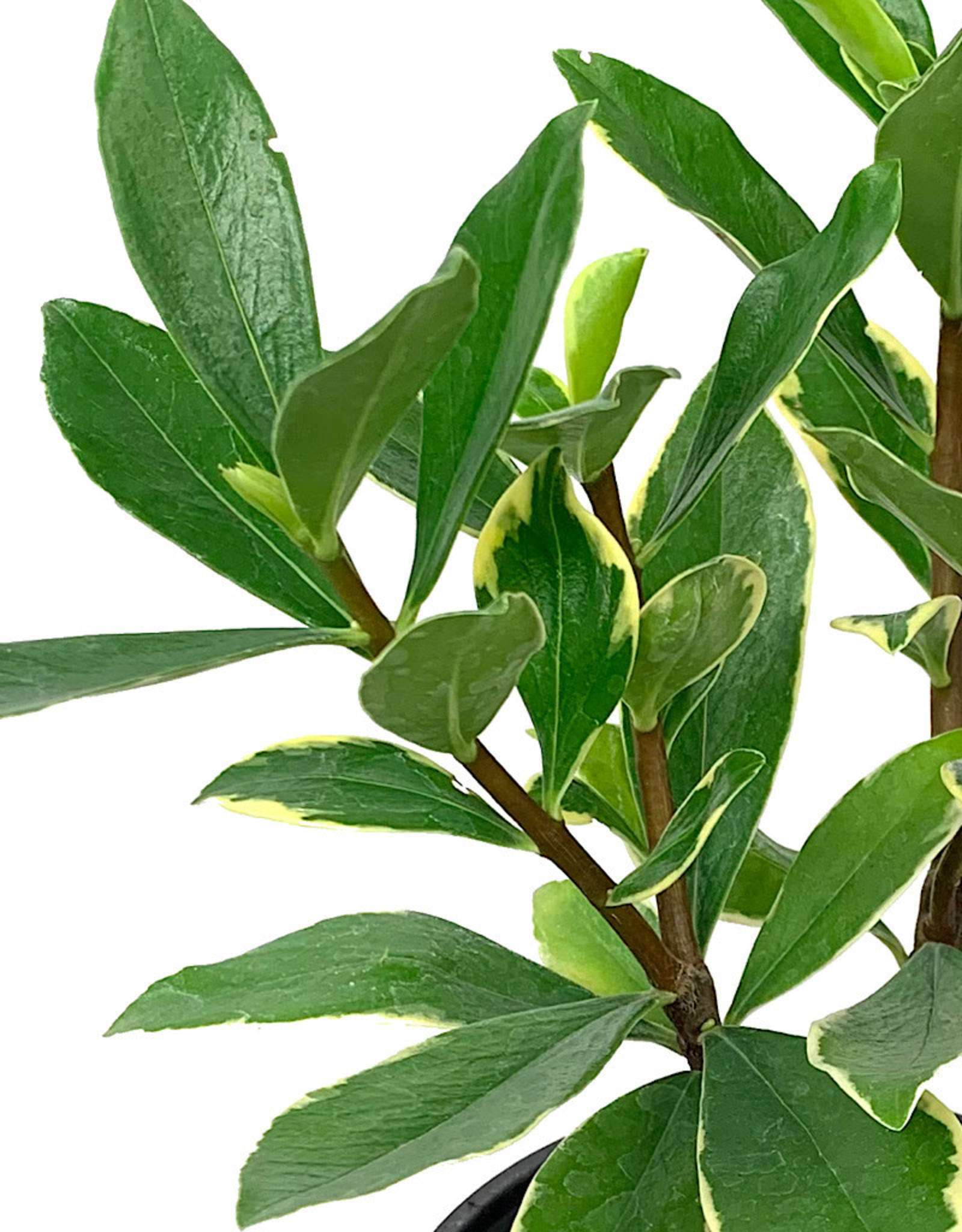 Daphne odora 'Aureomarginata' Quart