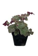 Heuchera 'Dark Storm' Quart