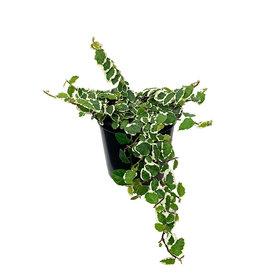 Ficus pumila 'Variegata' Quart