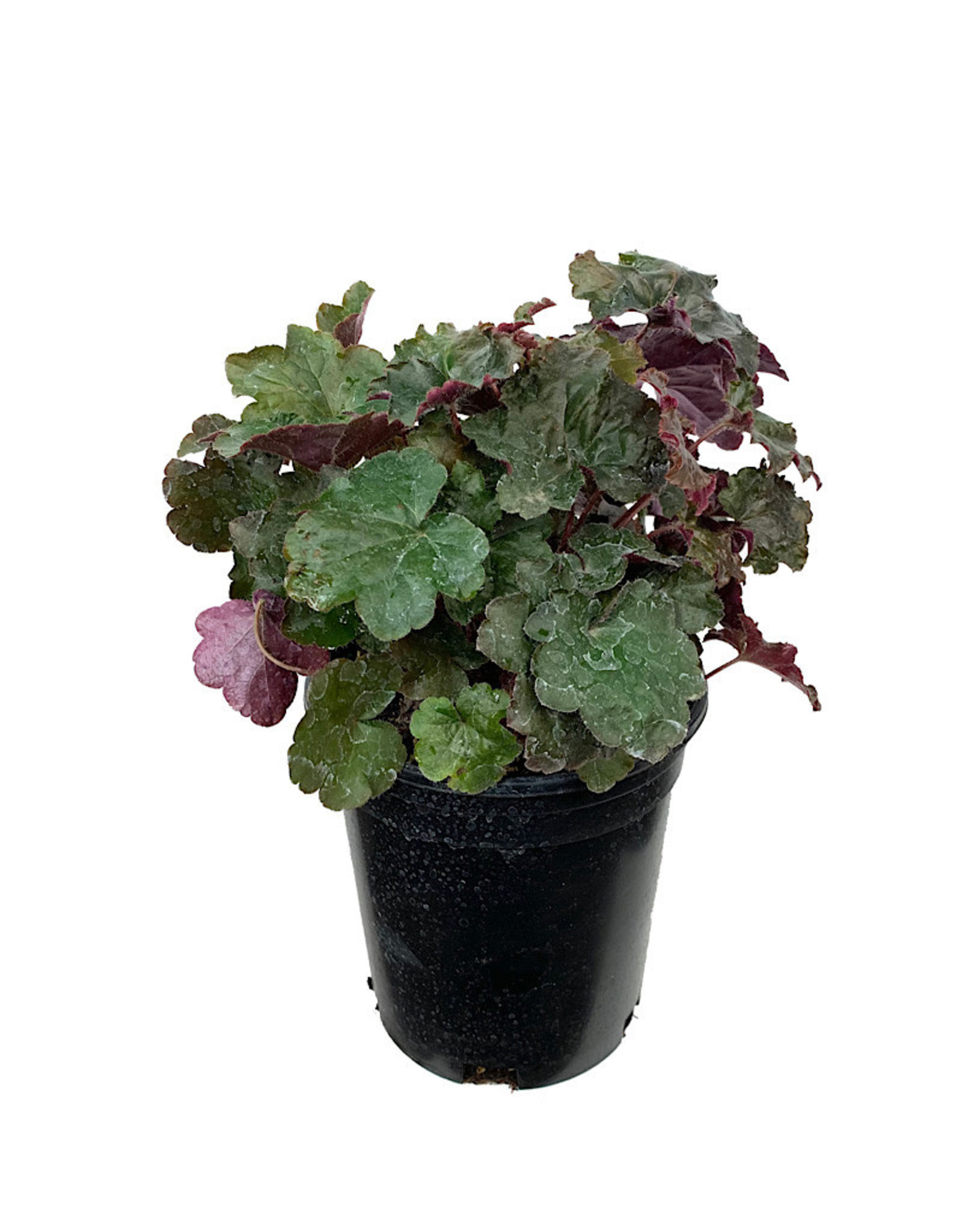 Heuchera 'Palace Purple' 1 Gallon