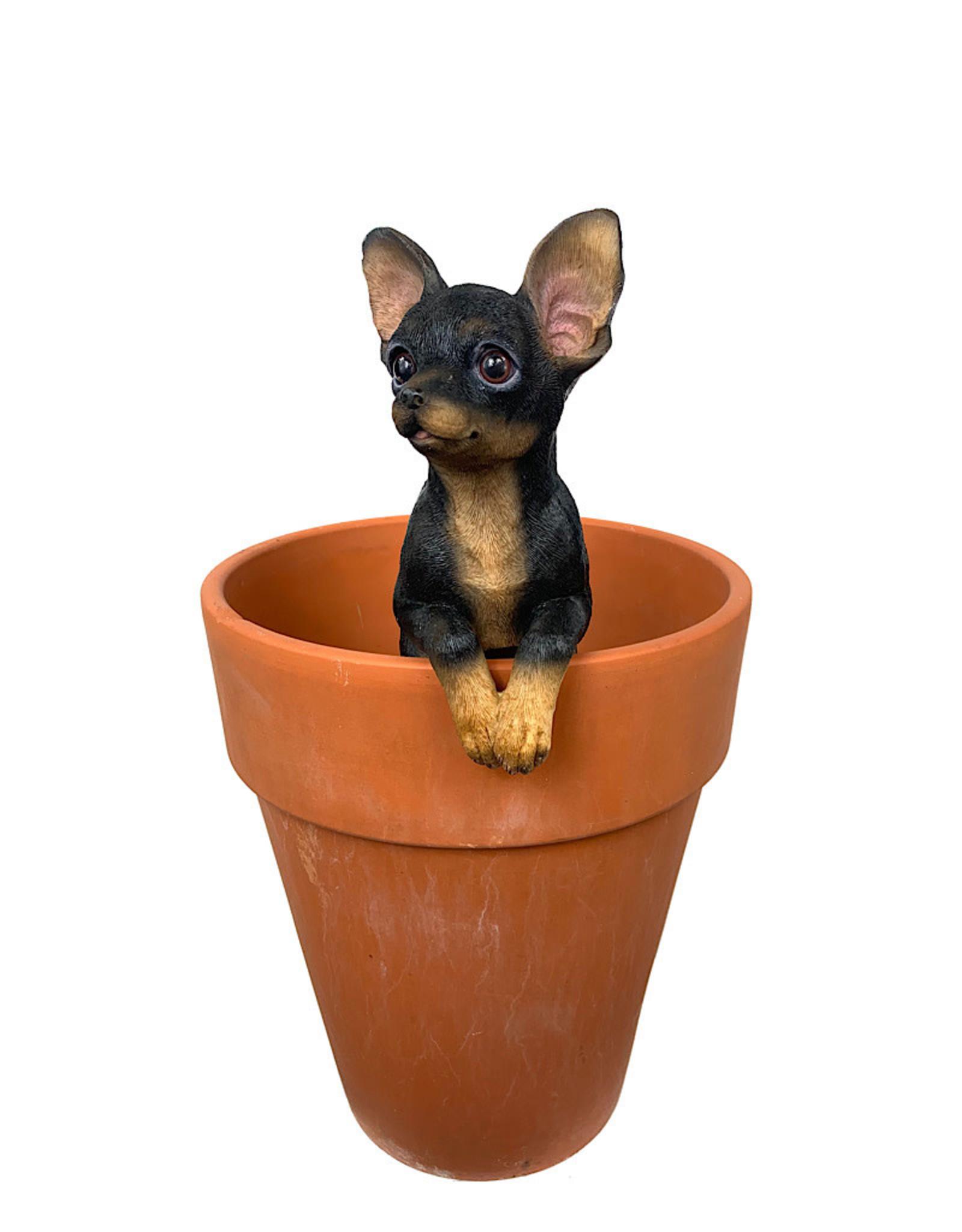Hang on Chihuahua