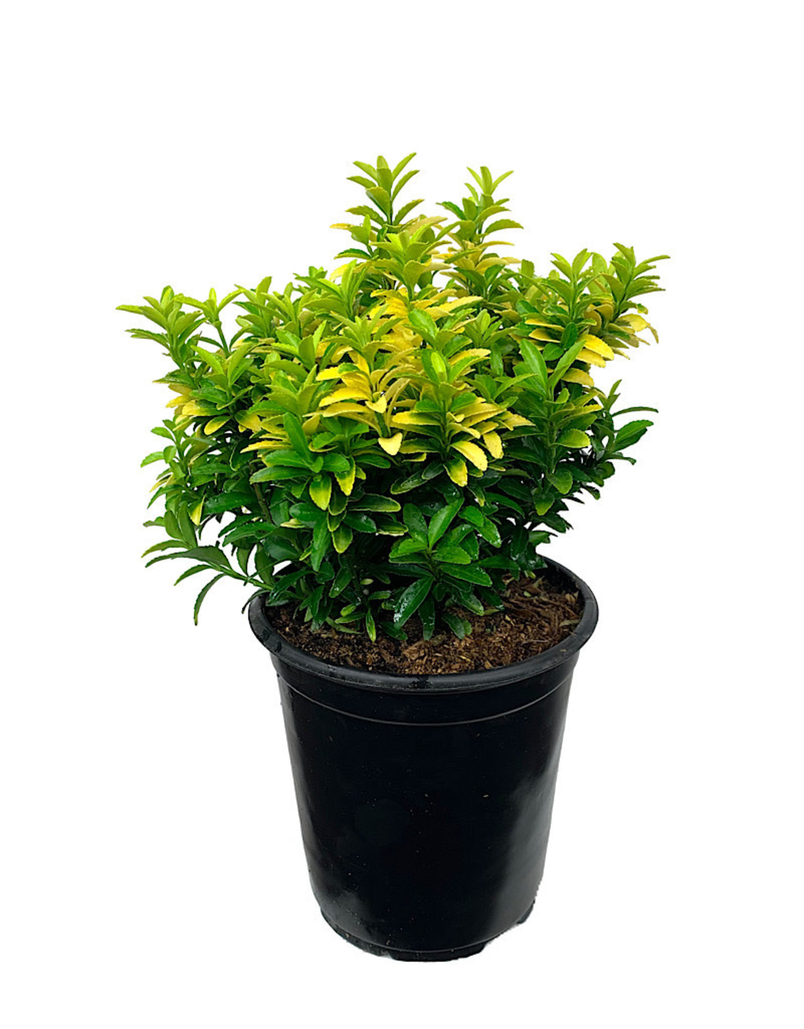 Euonymus 'Happiness' 1 Gallon