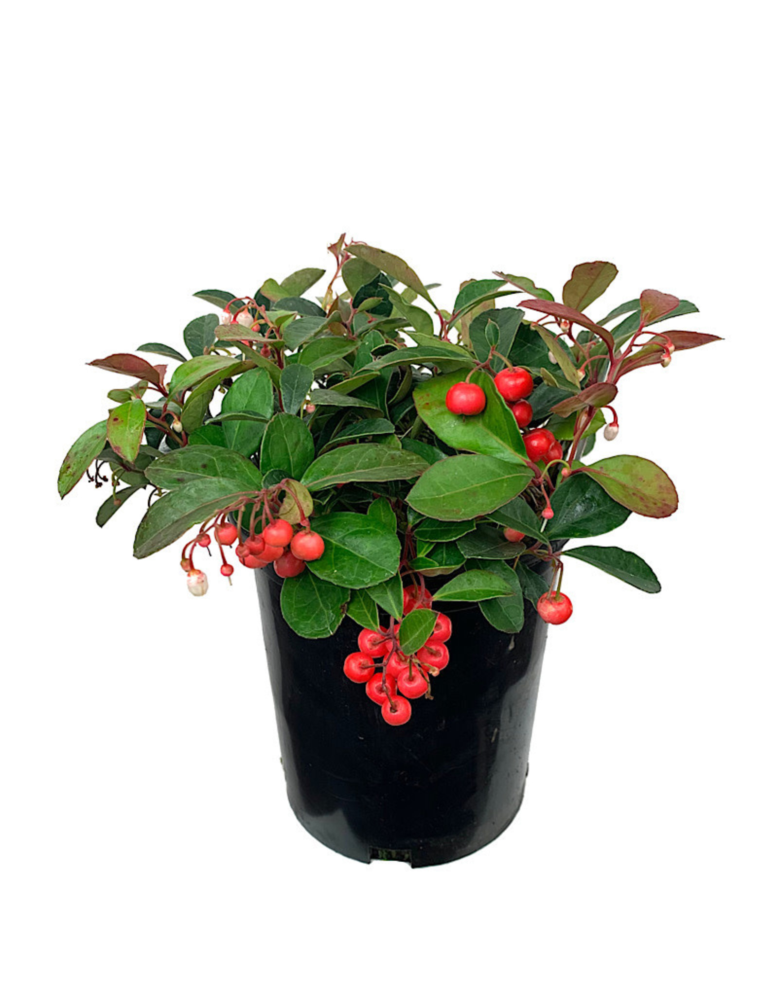 Gaultheria procumbens 'Cherry Berries' 1 Gallon