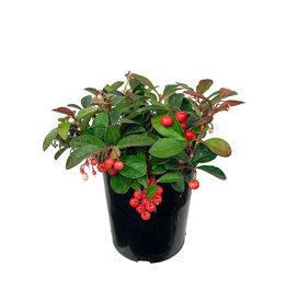 Gaultheria procumbens 'Cherry Berries' 1 Gallon