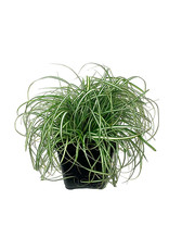 Carex oshimensis 'EverColor Everlite' 4 inch