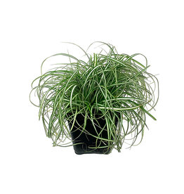 Carex oshimensis 'EverColor Everlite' 4 inch