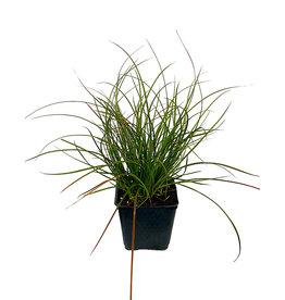 Carex testacea 'Orange Sedge' 4 inch
