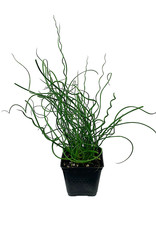 Juncus Effusus 'Twister' 4 inch