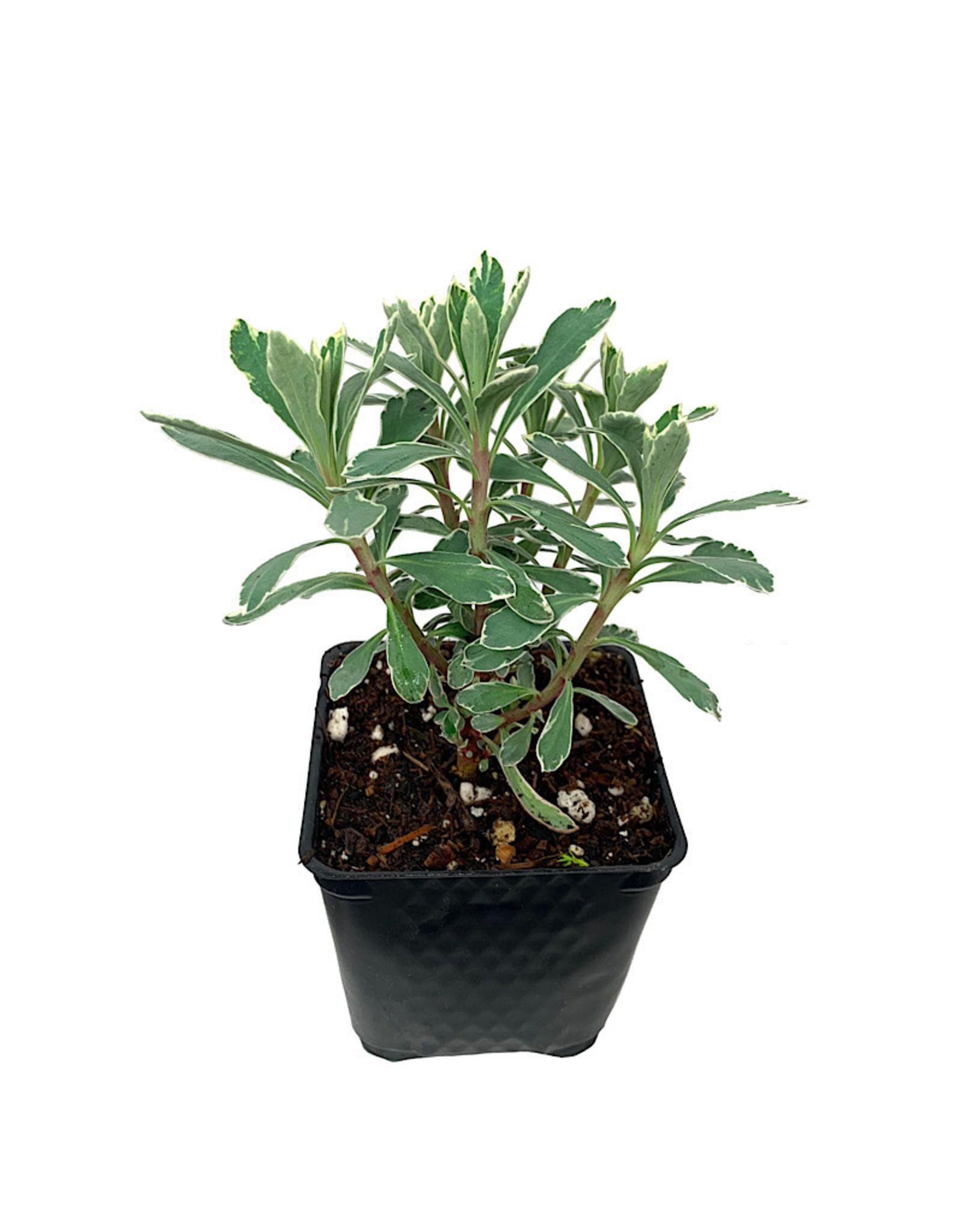 Euphorbia 'Silver Swan' 4 Inch