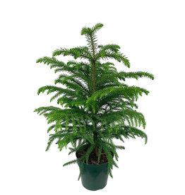 Araucaria heterophylla 6 Inch