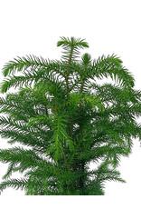 Araucaria heterophylla 4 Inch