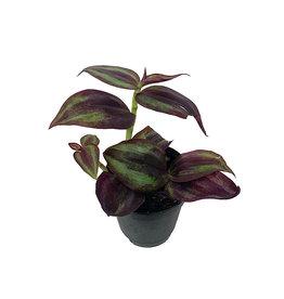 Tradescantia zebrina 'Purple' 2 Inch