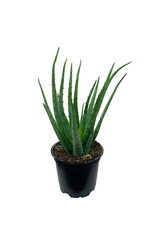 Aloe 'Blue Elf' 4 Inch