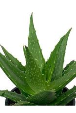 Aloe dorotheae 4 Inch