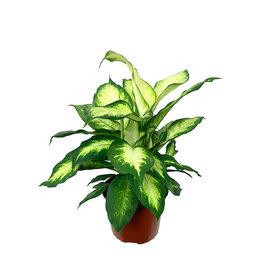 Dieffenbachia maculata 'Camille' 6 inch