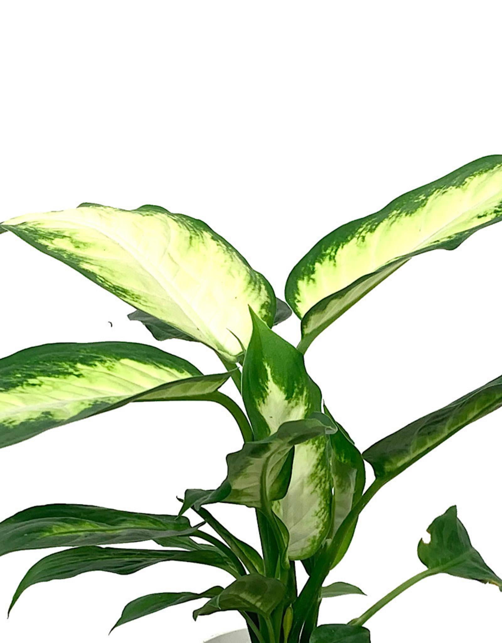 Dieffenbachia maculata 'Camille' 4 Inch