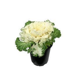 Kale 'Nagoya White' Quart