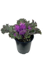 Kale 'Nagoya Rose' Quart