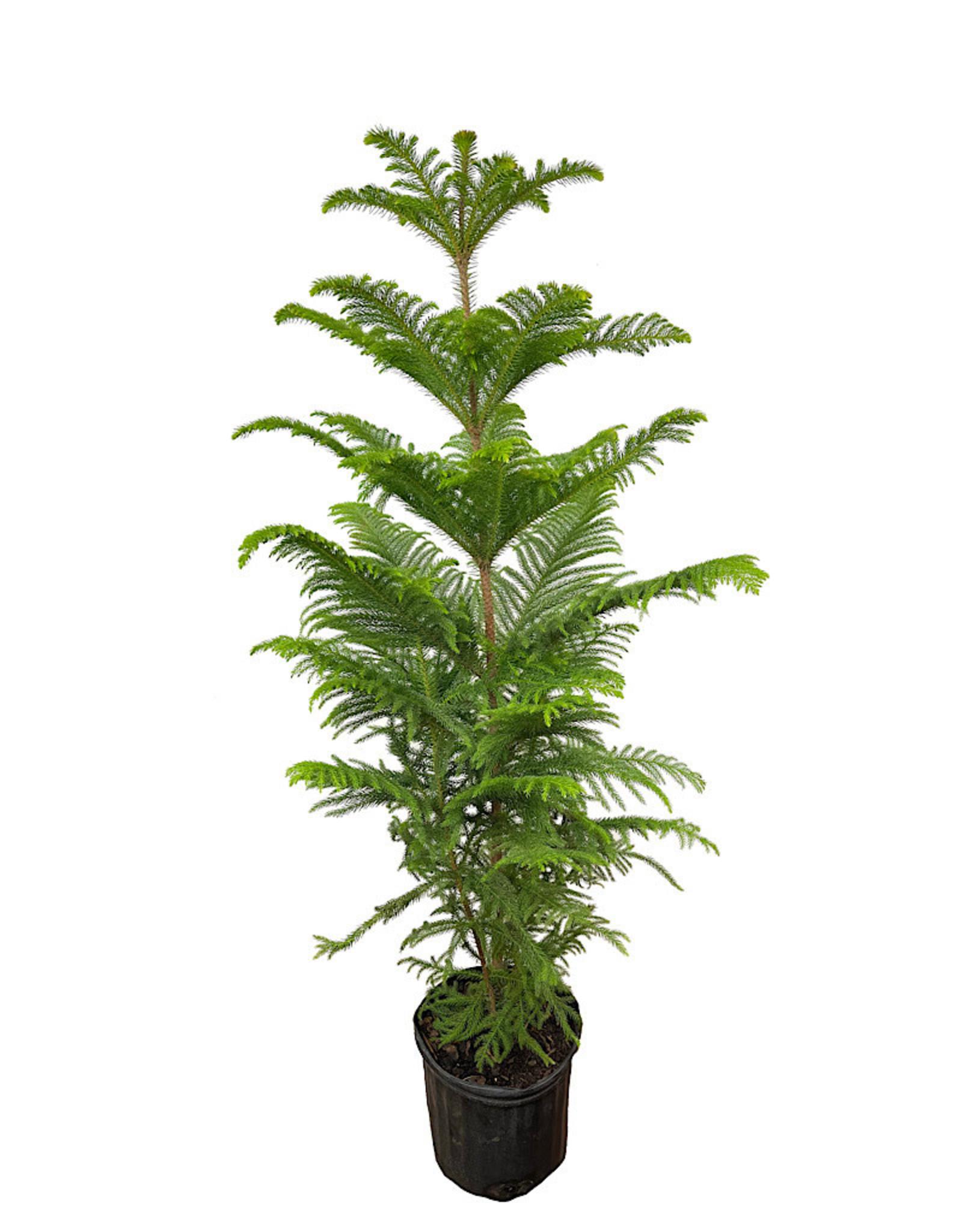 Araucaria heterophylla 10 Inch