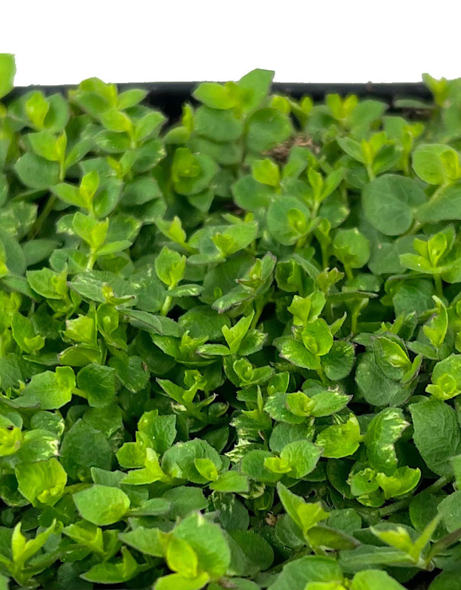 Laurentia fluviatilis 4 inch