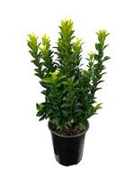 Euonymus japonicus 'Paloma Blanca' 1 Gallon