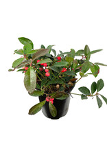 Gaultheria procumbens 'Berry Cascade' Quart