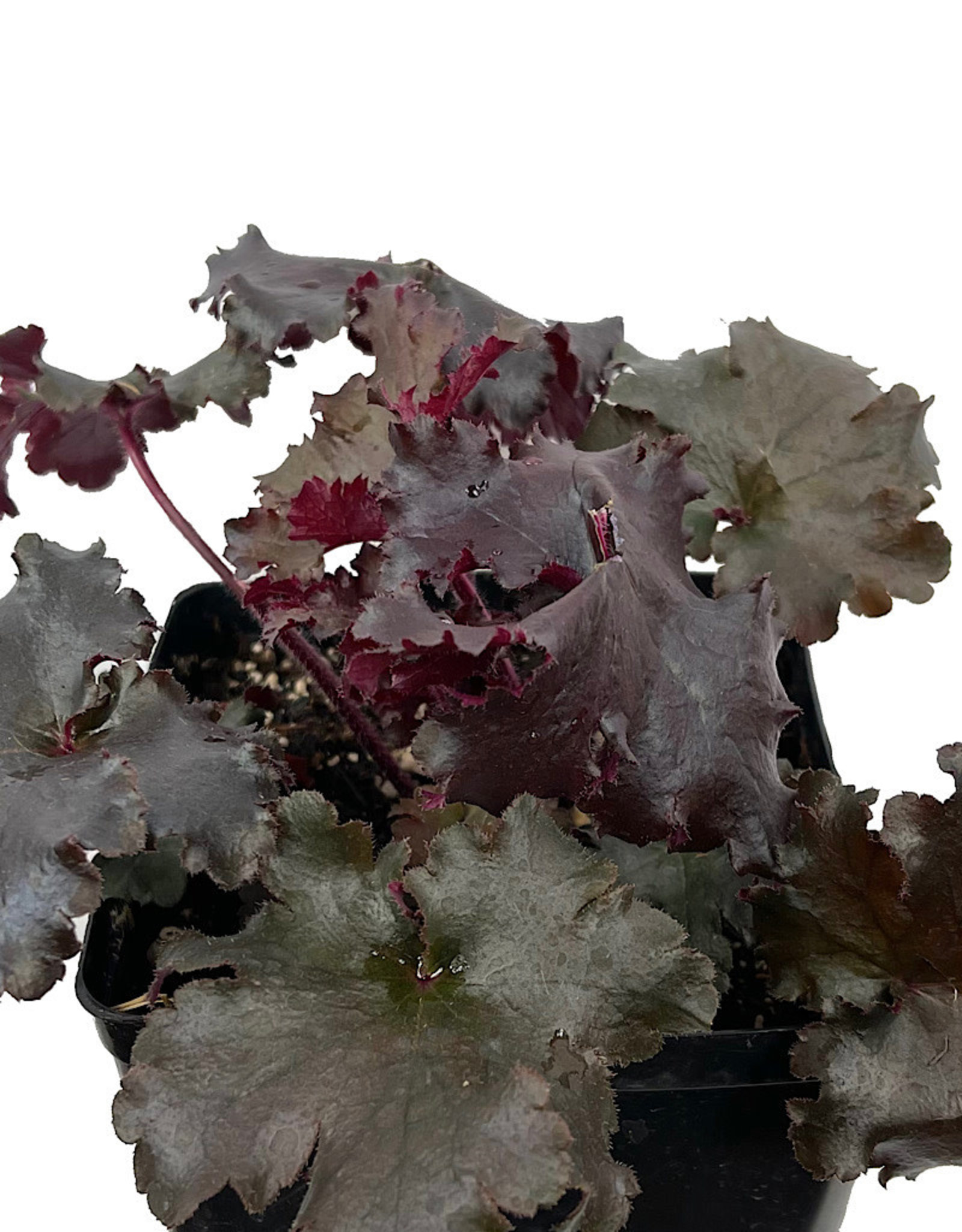 Heuchera 'Black Taffeta' 1 Gallon