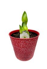 Amaryllis 'Alfresco' 6 inch