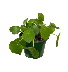 Pilea peperomioides 6 Inch