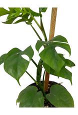 Rhaphidophora tetrasperma 6 Inch