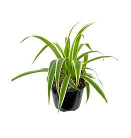 Chlorophytum comosum 'Ocean' 4 Inch