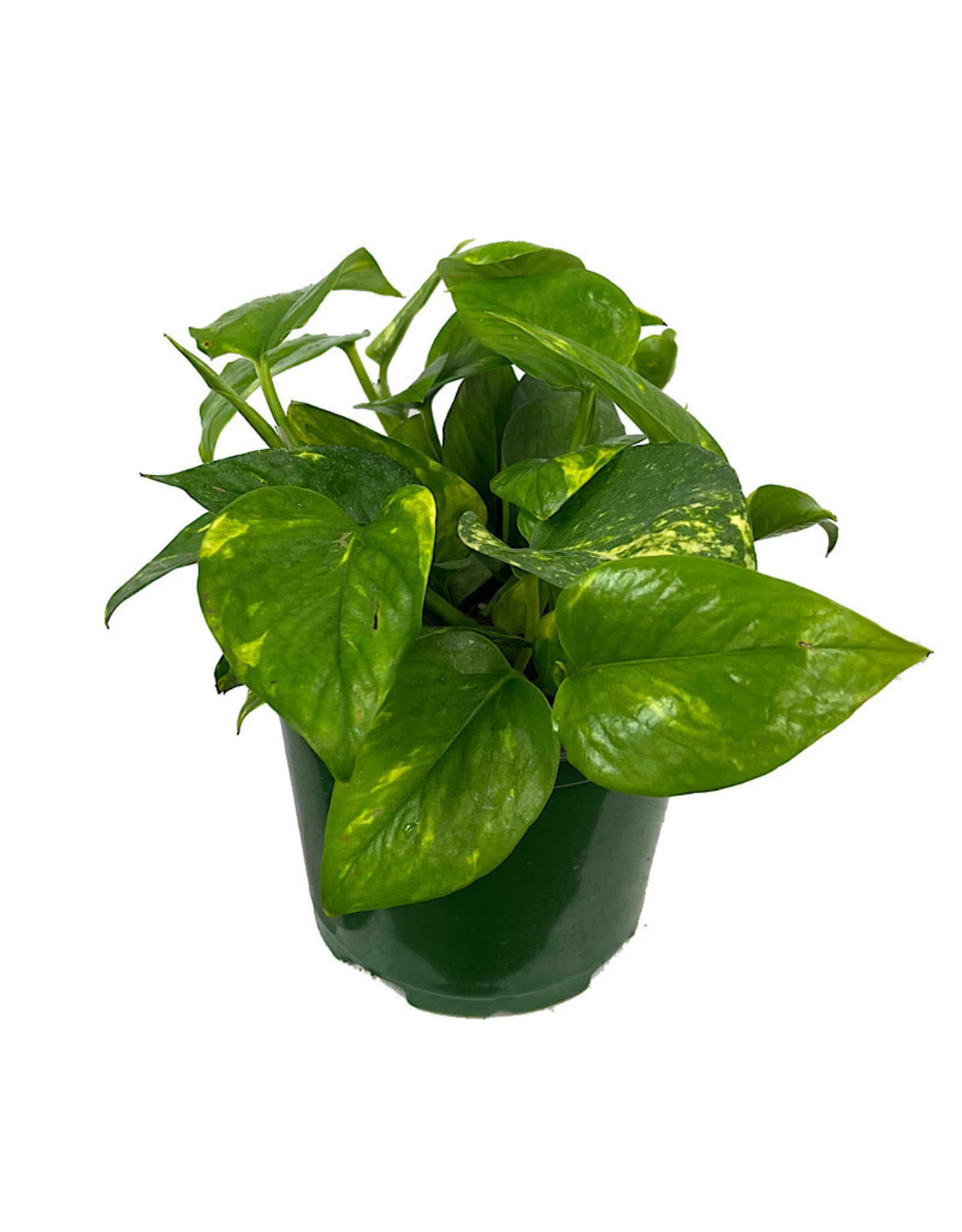 Pothos 'Golden' 6 Inch