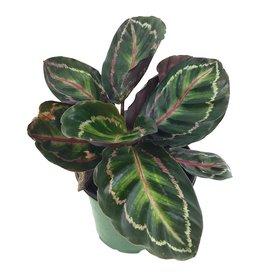 Calathea roseopicta 'Medallion'