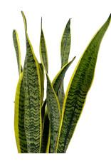 Sansevieria trifasciata 'Laurentii' 6 Inch