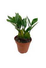 Zamioculcas zamiifolia 4 Inch