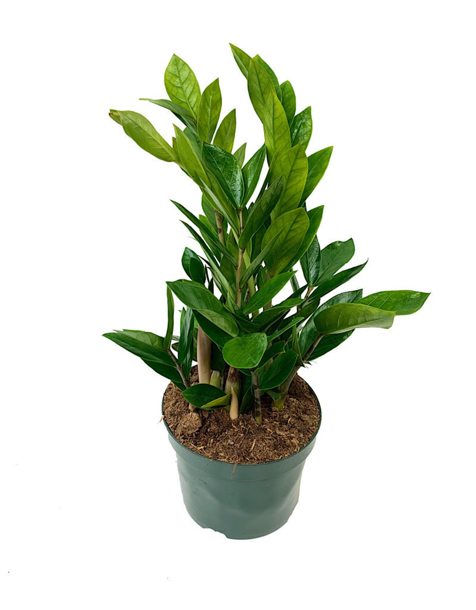 Zamioculcas zamiifolia 6 Inch