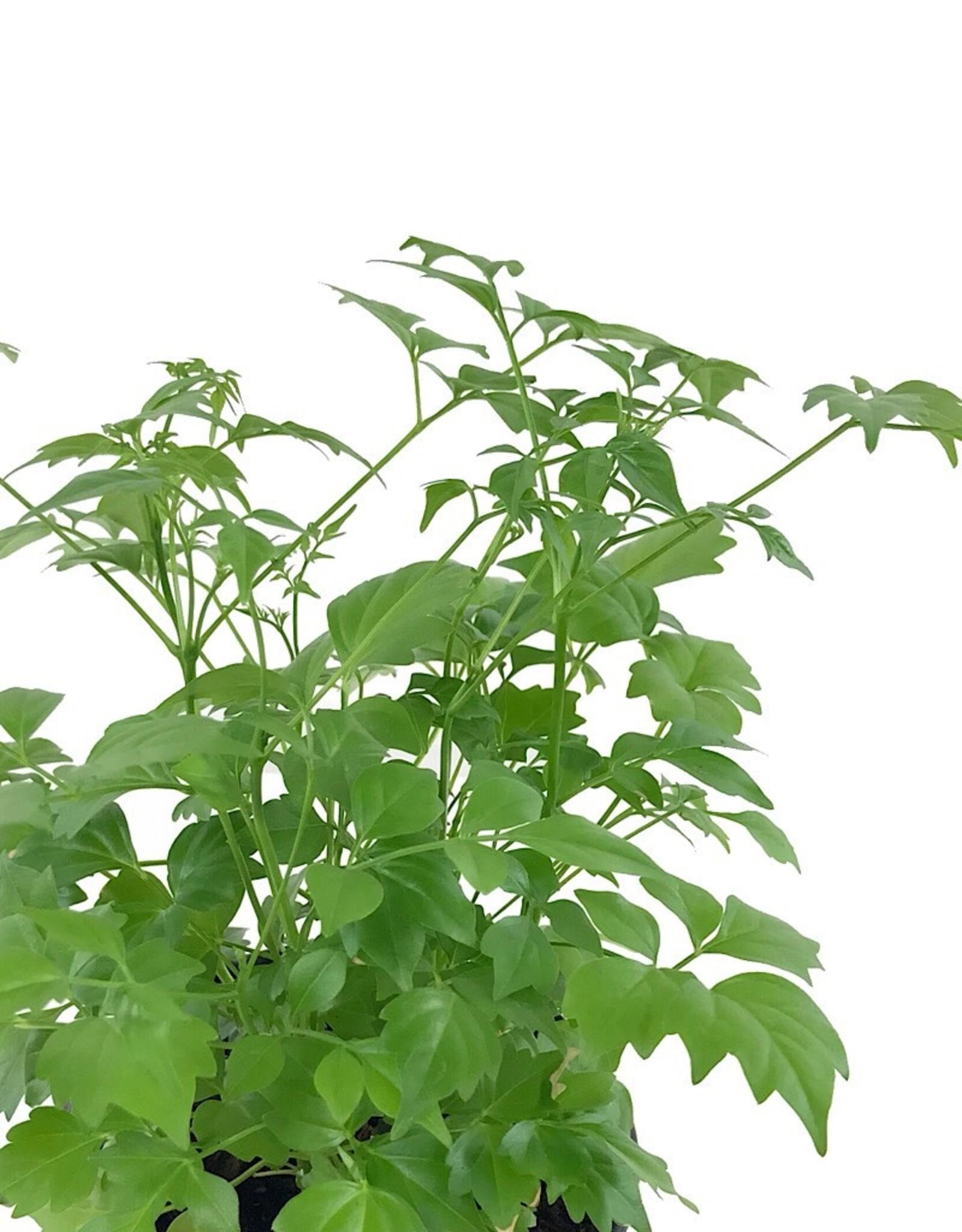 Radermachera sinica 4 Inch