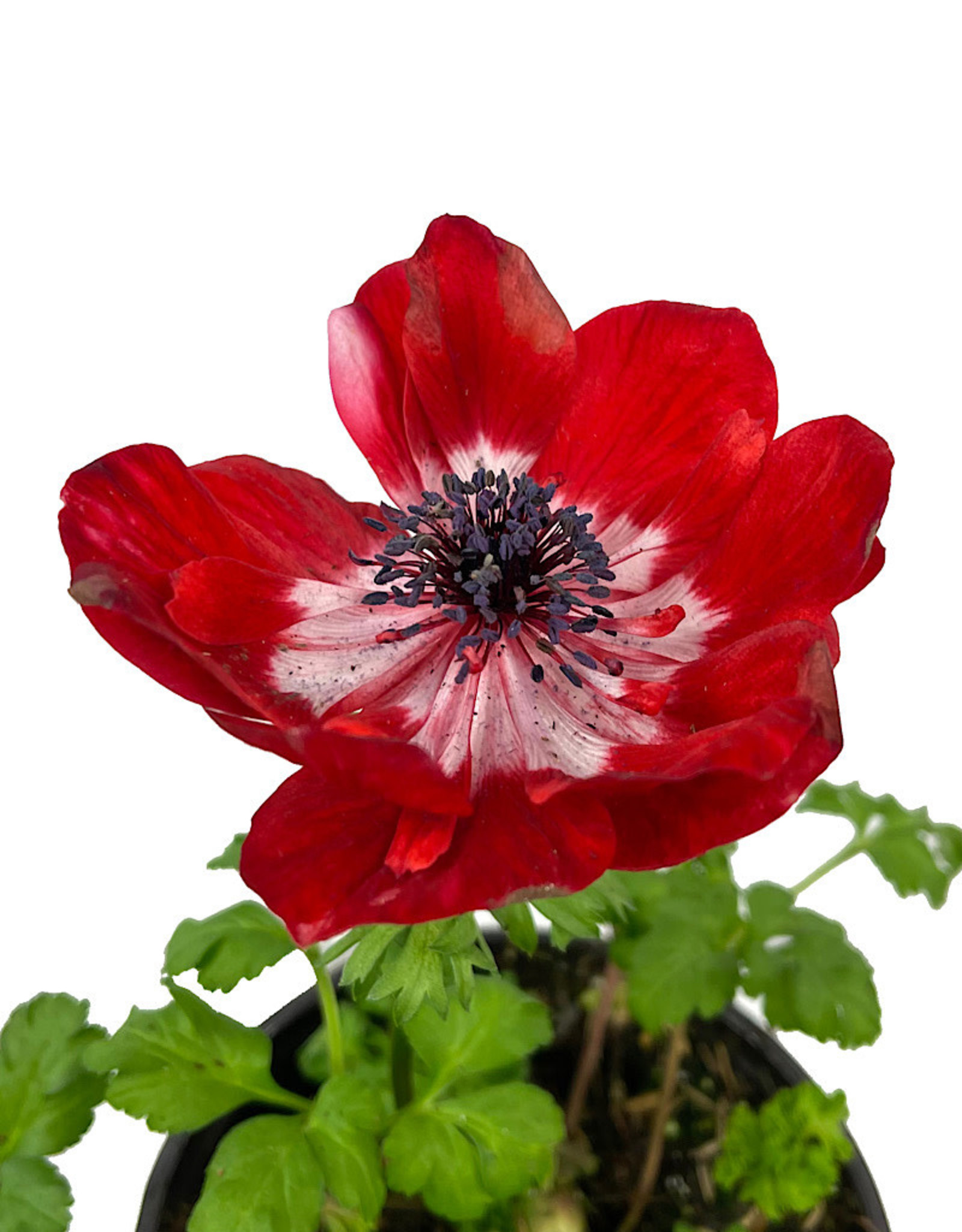 Anemone 'Harmony Scarlet' Quart