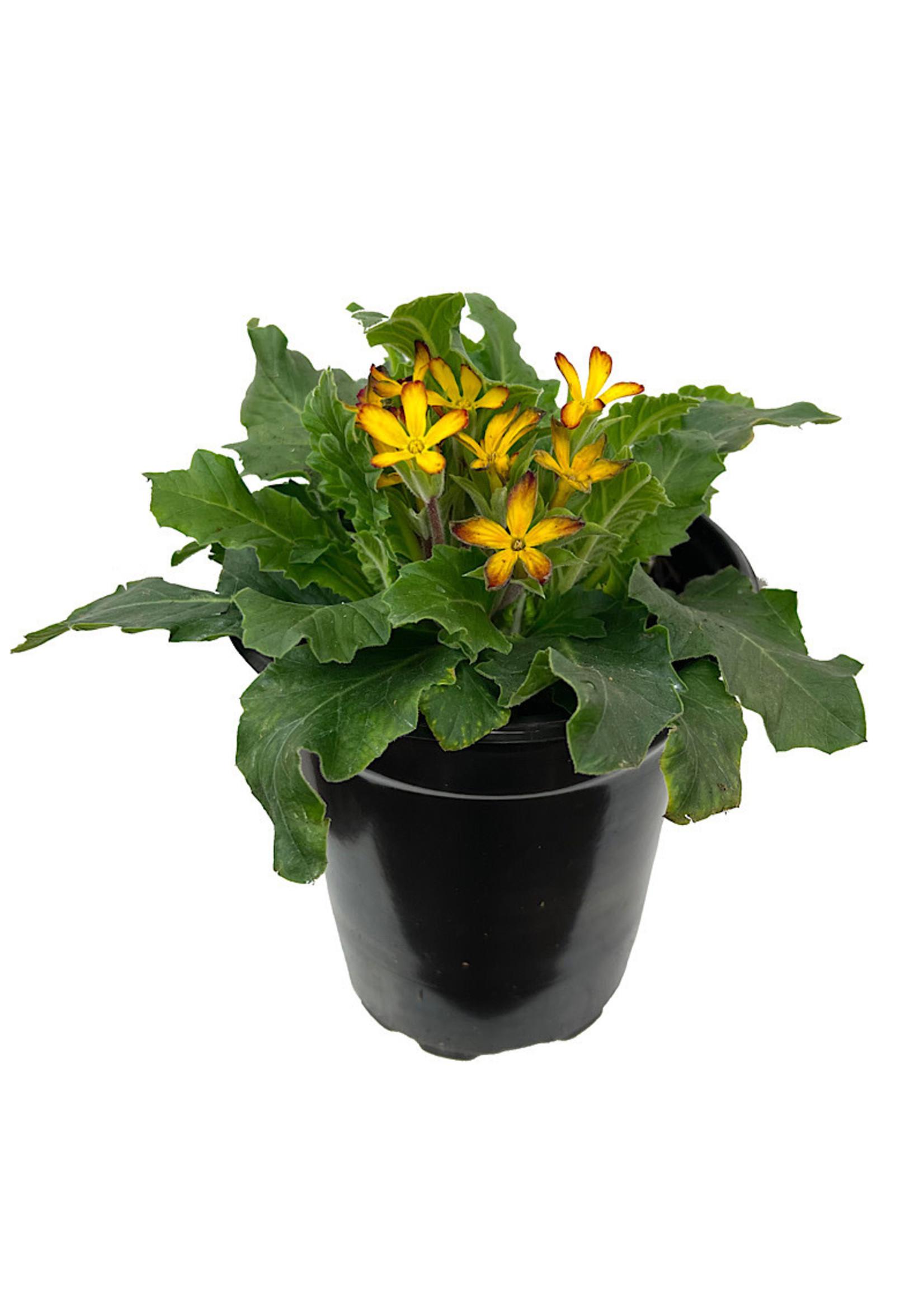 Primula 'Oakleaf Yellow Picotee' Quart